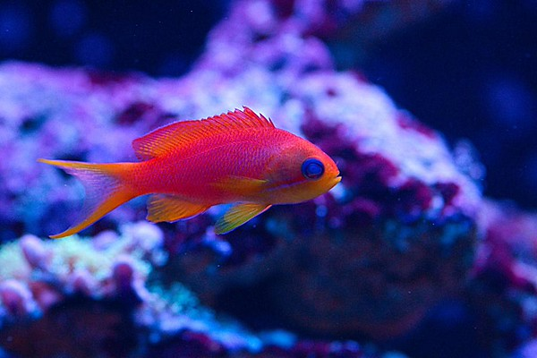 Front Page Photo ~ November 2014 Photo by JMMJ13902 ~  Male Lyretail Anthias