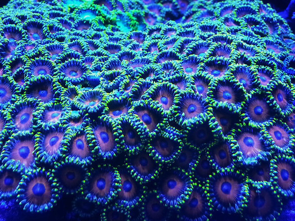 Front Page Photo ~ May 2013 Photo by T.Shaw  ~  Eagle Eye Zoanthid Colony