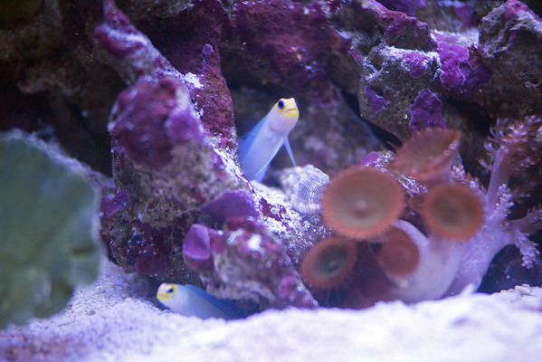 Front Page Photo ~ August 2015 Photo by lkbart ~ Baby Jawfish