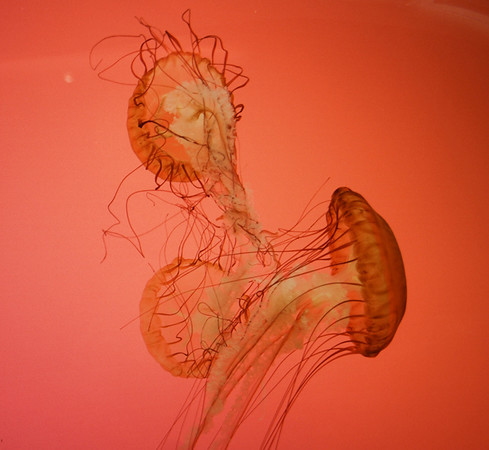 Front Page Photo ~ July 2012 Photo by JMMJ13902  ~  Jellies from Shed Aquarium, Chicago, IL