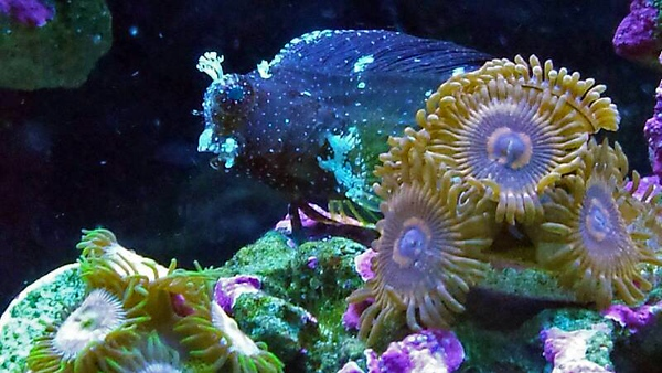 Front Page Photo ~ November 2013 Photo by Browncoat ~  Starry blenny