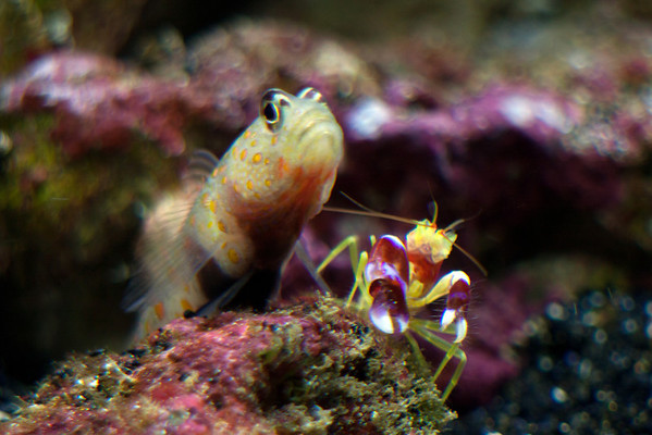 Front Page Photo ~ September 2012 Photo by lkbart  ~  Orange Spotted Goby & Pistol Shrimp
