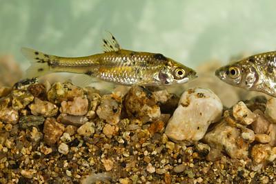 Alburnoides prespensis - Prespa Spirlin - Τσιρονάκι