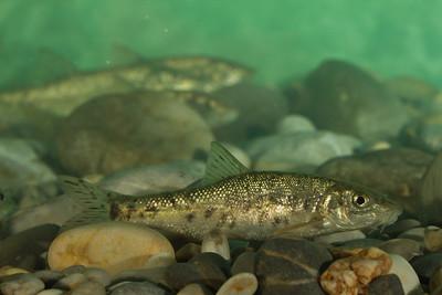 Barbus prespensis - Prespa Barbel - Μπράνα