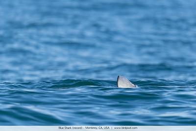 Blue Shark (record) - Monterey, CA, USA
