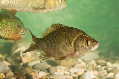 Squalius prespensis - Prespa Chub - Κέφαλος