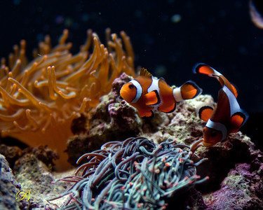 Clownfish preparing place on rock to lay eggs.