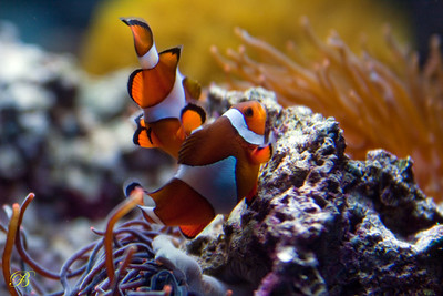 Clownfish beginning to lay eggs on rock.