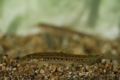 Cobitis meridionalis - Prespa spined loach - βρυγοβελονίτσα (Ταινία)