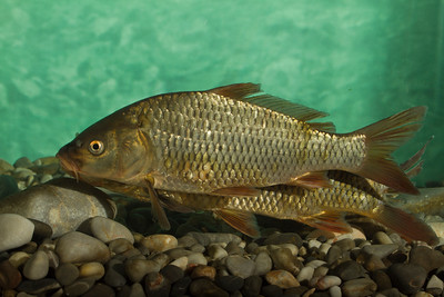 Cyprinus carpio - Carp - Γριβάδι
