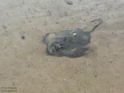Sting Ray - Galapagos, Ecuador