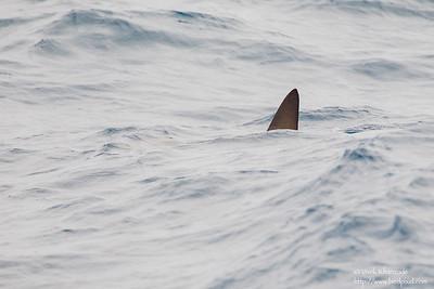 Scalloped Hammerhead Shark - Near Playa Negra, Isla Marchena, Galapagos, Ecuador