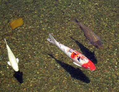 Koi carp (Cyprinus carpio), Balboa Park, San Diego, 11 Jun 2006