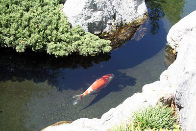 Koi Pond Japanese Friendship Garden Balboa Park 5 Sep 2010