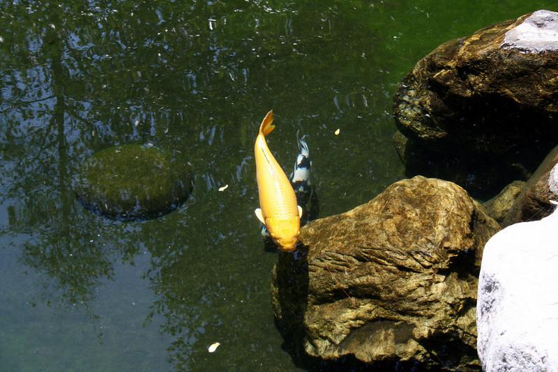 Koi Pond<br /> Balboa Park<br /> Japanese Friendship Garden<br /> 5 Sep 2010