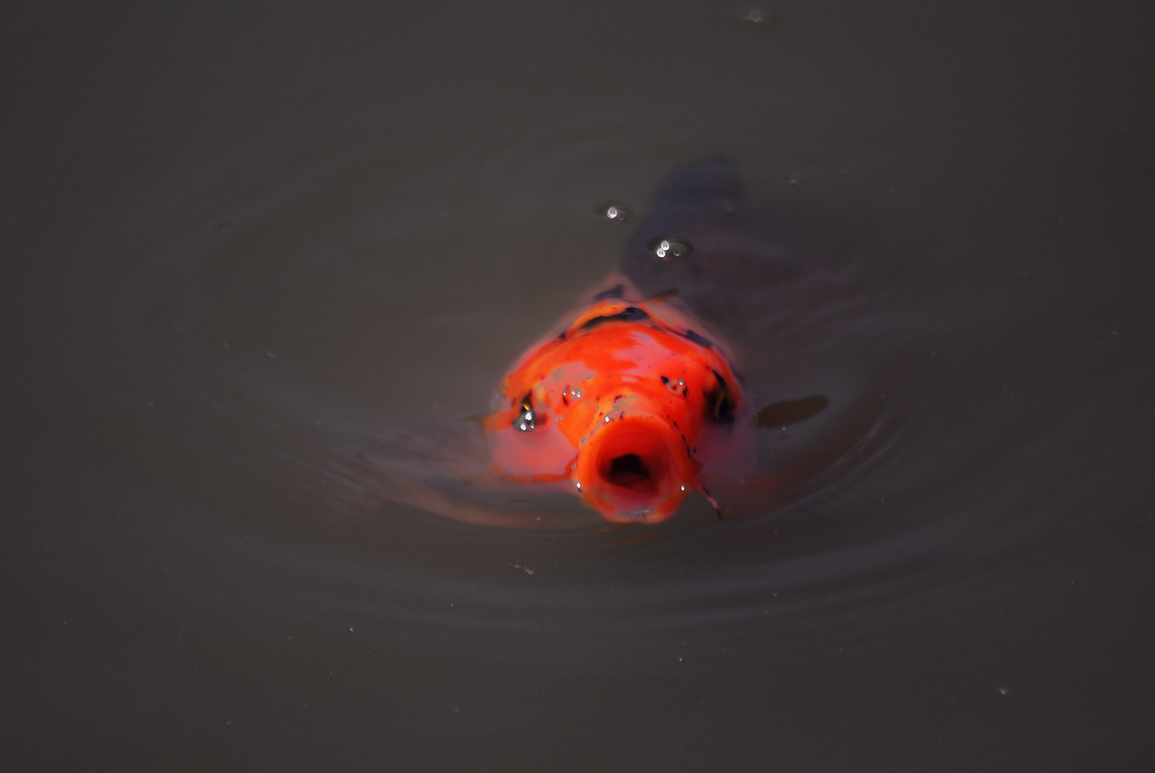 A koi comes to the surface of a pond looking for food.