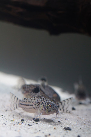 Three-lined Corydoras