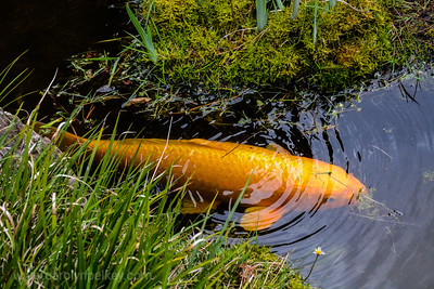 Large Fish Glides along in Japanese Garden