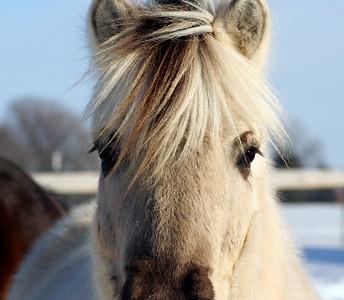 Uljar  NORWEGIAN FJORD HORSE