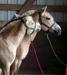 Sparrow & Logn NORWEGIAN FJORD HORSE