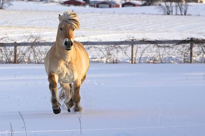 Dutch  NORWEGIAN FJORD HORSE