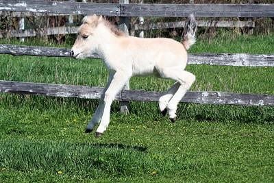 Andi  NORWEGIAN FJORD HORSE