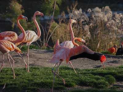 Flamingos in Copenhagen Zoo. Photo: Martin Bager.