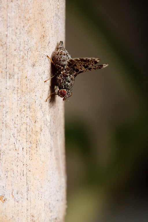 A peacock fly holds its wings up in a courtship display.  The subject of its attentions proved to be entirely uninterested -- not surprisingly, since it was in fact dried bird droppings.