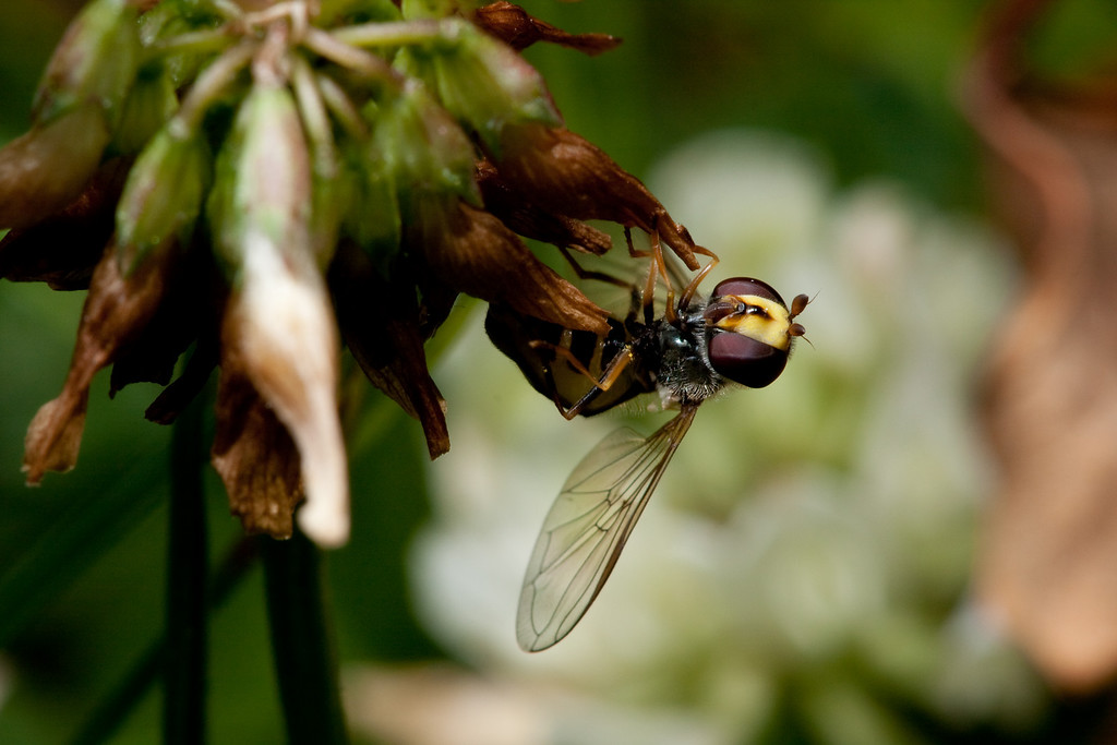 A hoverfly rests, hanging upside-down from a clover flower.