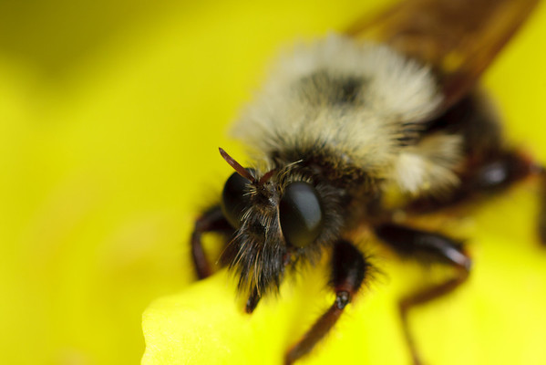 A bee-like robber fly on a yellow flower, alert for prey.