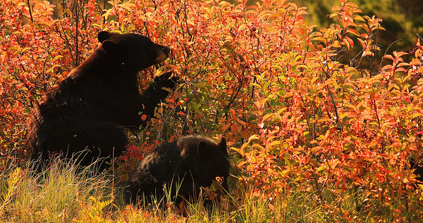 Mother and cub having a snack, in Waterton AB.