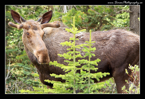 A young male moose in Kananaskis, Ab.