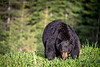 Hungry Black Bear
