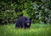 black bear stare