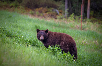 Brown bear smoking a dandelion