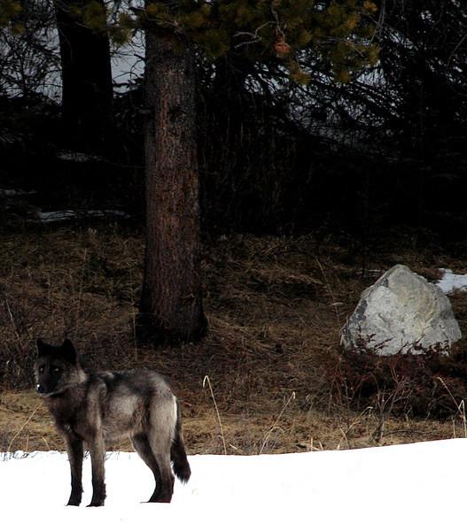 A black wolf in Banff.