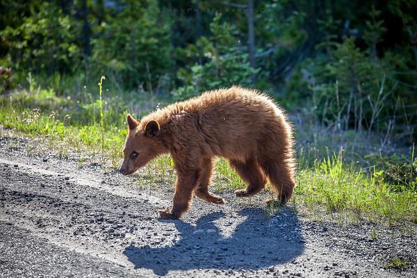Bear cub crossing