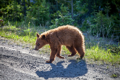 Bear cub crossing