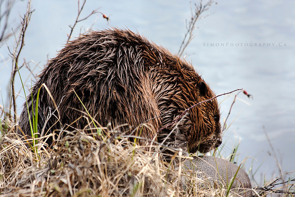 A little beaver sitting by the lake