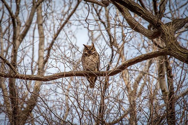 Chatham-Kent Owl