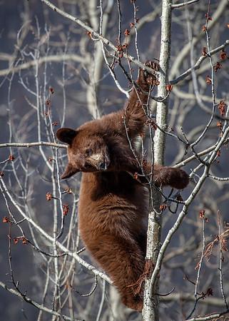 bear cub high up in a tree