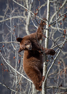 bear cub high up in a tree