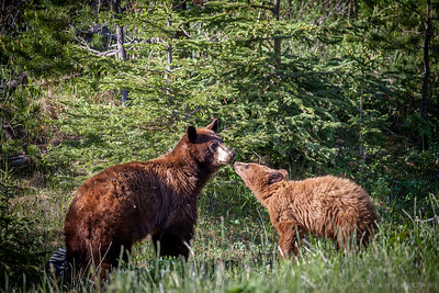 Mother and cub kiss
