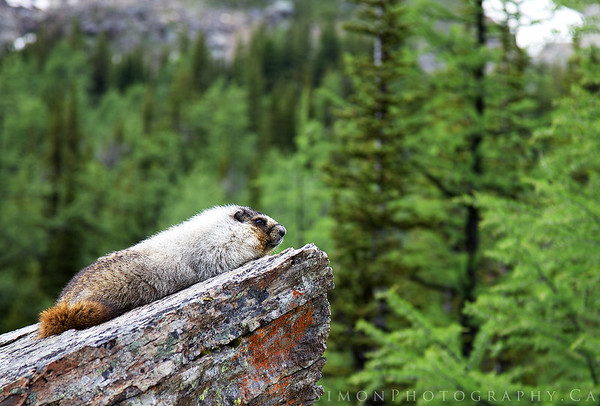 A hoary Marmot enjoying the view