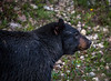 Happy Black Bear