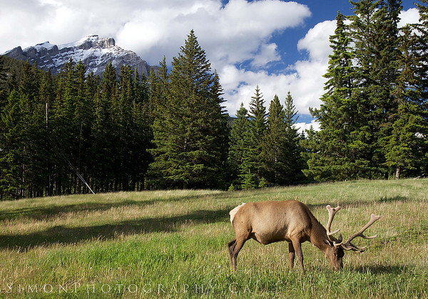 A young bull elk grazes through a meadow in Banff Ab.