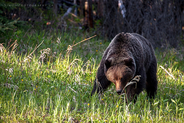 Grizzly #1