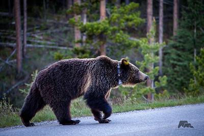 Bear 161