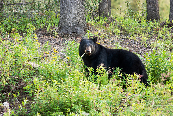black bear snacking on some dandilions