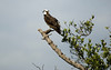 Osprey fishing in Charlotte Harbor, FL